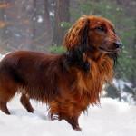 Pets - Dog - Image